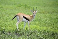 授予小心地注意掠食性动物的瞪羚 免版税库存照片