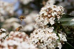 授粉、蜂和花粉 库存照片