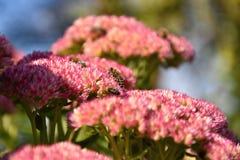 授粉一朵桃红色花的蜂,在一个夏日 免版税库存照片