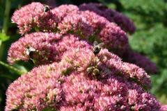 授粉一朵桃红色花的蜂,在一个晴天 库存照片