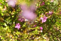 授粉一朵桃红色花的蜂 免版税库存图片
