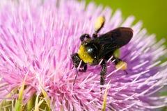 授粉一朵桃红色花的蜂 图库摄影