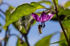 授粉一朵紫色serrano胡椒花的Hoverfly 图库摄影
