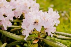 授粉一朵美丽的桃红色和白色早期的开花的春天杜娟花的蜂蜜蜂 在杜鹃花的蜂着陆在庭院里 免版税库存照片