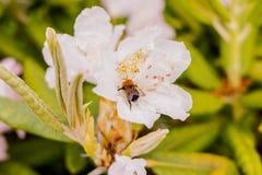 授粉一朵美好的白色早期的开花的春天杜娟花的蜂蜜蜂 选择聚焦 在桃红色杜娟花开花的土蜂 免版税库存照片