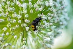 授粉一朵花的小白色瓣的与美国钞票的黄蜂抽去 免版税库存照片