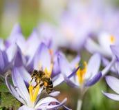 授粉一朵紫色番红花花的蜜蜂 免版税库存照片