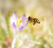 授粉一朵紫色番红花花的飞行蜜蜂 免版税库存照片