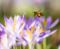 授粉一朵紫色番红花花的飞行蜜蜂 免版税库存图片
