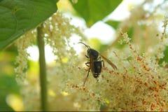 授粉一束白花的黄蜂 库存照片
