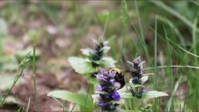 授粉与土蜂的一朵花 股票录像