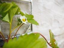 授粉从一个垂悬的盆的草莓的小蜂一朵花 库存图片