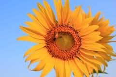 授粉向日葵的ฺBee 免版税库存照片