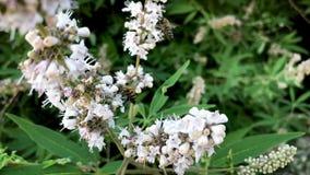 授粉和飞行在绿色背景的白花的两只蜂蜜蜂 股票录像