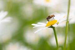 授粉和feedeing在雏菊的Syrphid飞行 免版税库存照片