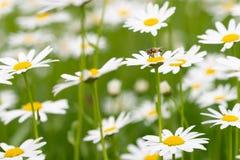 授粉和feedeing在雏菊的Syrphid飞行 免版税库存图片
