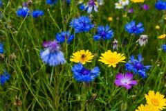 授粉在一朵黄色雏菊的蜂 免版税库存图片