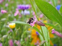 授粉在草甸的一只清楚的蜂一朵桃红色花 免版税库存图片
