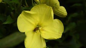 授粉在黄色花Enotera拉特的野生蜂 月见草属 股票录像