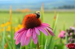 授粉桃红色coneflower的土蜂 图库摄影