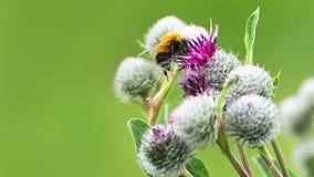 授粉概念:一只土蜂的特写镜头在紫色伟大的地球蓟花的有被弄脏的绿色背景 免版税库存照片