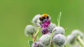 授粉概念:一只土蜂的特写镜头在紫色伟大的地球蓟花的有被弄脏的绿色背景 图库摄影