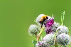 授粉概念:一只土蜂的特写镜头在紫色伟大的地球蓟花的有被弄脏的绿色背景 库存图片