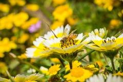 授粉沿海宽舌莱氏菊野花Layia platyglossa,莫里点,帕西菲卡,加利福尼亚的蜂蜜蜂 库存图片