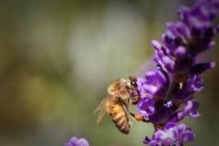 授粉淡紫色花的蜂蜜蜂 免版税库存图片