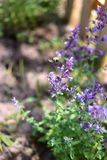 授粉猫薄荷的紫色花土蜂 免版税库存照片