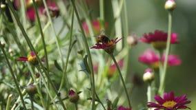 授粉红色大丁草的蜂鸟 库存照片