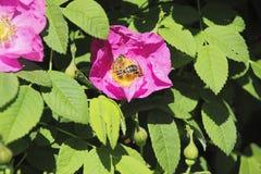 授粉花的两只蜂 免版税库存照片