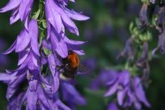 授粉花的土蜂 免版税库存图片