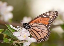 授粉苹果开花的黑脉金斑蝶 库存照片