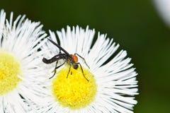 授粉野花的爱臭虫 图库摄影