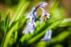 授粉风信花的蜂 库存照片