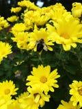 授粉黄色花的土蜂 库存图片