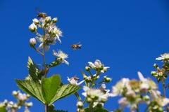 授粉黑莓的开花的灌木蜂 免版税库存照片