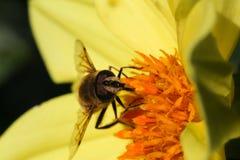 授粉黄色大丽花花黑暗背景的蜂 免版税库存图片