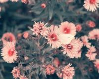 授粉紫色秋天花的蝴蝶 库存照片