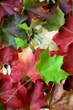 排列多彩多姿叶子的槭树 库存照片