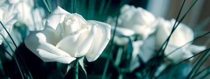 排列玫瑰白色 图库摄影