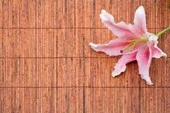 排列百合属植物百合粉红色占星师 免版税库存照片