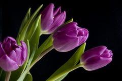 排列紫色郁金香 免版税库存图片