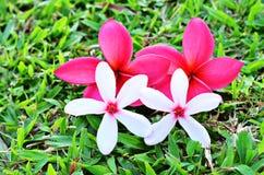 排列美丽的花红色白色 库存图片