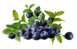 排列蓝莓 免版税图库摄影