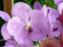 排列orchidea 库存照片