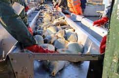 排序一条淡水鱼 免版税库存照片