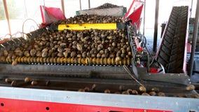 排序在农场的土豆的特别机械化的过程 土豆在传送带被卸载,通过排序的,然后