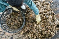 排序在牡蛎农场的软体动物过程在越南 免版税图库摄影
